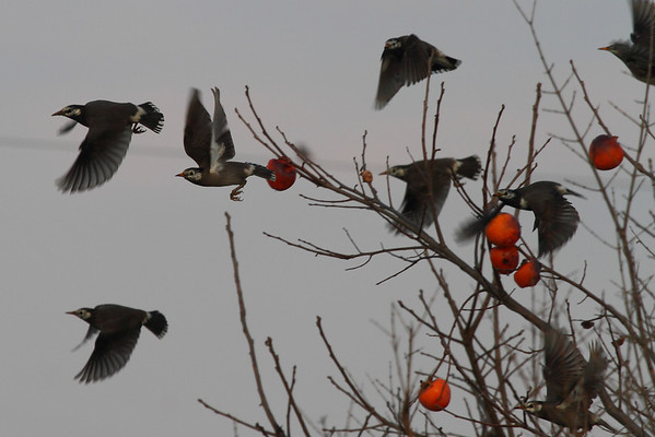 White-cheeked Starling / 찌르레기Spodiopsar cineraceus Daedae-dong, Suncheon-si, Jeollanam-do, South Korea 30 November 2013