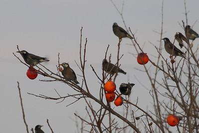 White-cheeked Starling / 찌르레기 Spodiopsar cineraceus Daedae-dong, Suncheon-si, Jeollanam-do, South Korea 30 November 2013