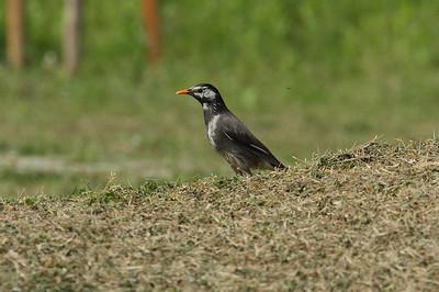 White-cheeked Starling / 찌르레기 Spodiopsar cineraceus Gwangjuho Lake Ecological Park, Chunghyo-dong, Gwangju, South Korea 12 May 2013