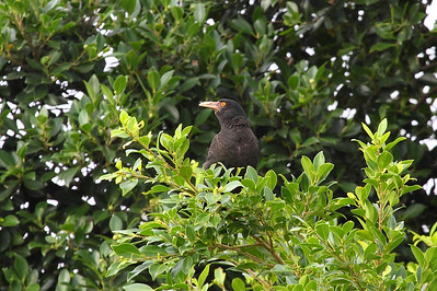 "Crested Myna / 八哥 ""Taiwan"" subspecies Acridotheres cristatellus formosanus Hua Jiang Wild Duck Nature Park, Taipei City, Taiwan 10 August 2013"