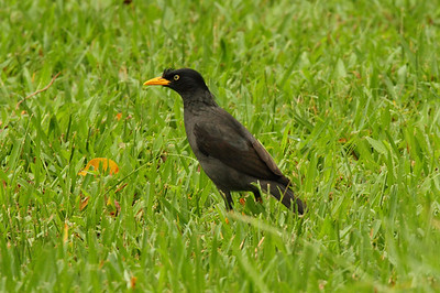 Javan Myna / 爪哇八哥 Acridotheres javanicus Da'an Forest Park, Taipei City, Taiwan 15 August 2013