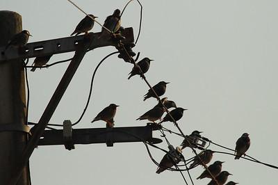 Common Starling / 흰점찌르레기 White-cheeked Starling / 찌르레기 Sturnus vulgaris & Spodiopsar cineraceus Junam Reservoir, Uichang-gun, Gyeongsangnam-do, South Korea 30 January 2015