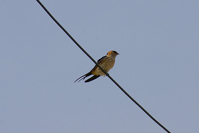 Red-rumped Swallow / 귀제비 Nominate subspecies Cecropis daurica daurica Family Hirundinidae Imja-myeon, Sinan-gun, Jeollanam-do, South Korea 28 April 2013