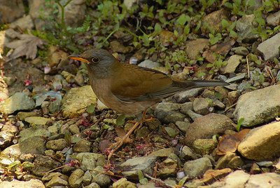 Pale Thrush (male) / 흰배지빠귀 Turdus pallidus Mudeungsan National Park, Gwangju, South Korea 27 April 2013