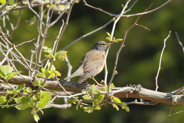 Eyebrowed Thrush (male) / 흰눈썹붉은배지빠귀 Turdus obscurus Eocheong-do, Jeollabuk-do, South Korea 6 May 2014
