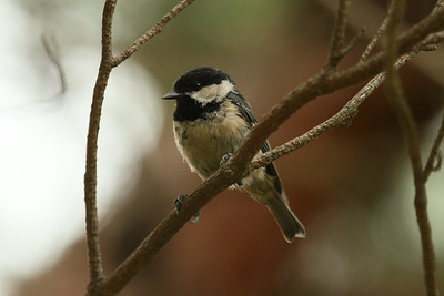 Coal Tit / 진박새 Nominate subspecies Periparus ater ater Mangwol-dong, Gwangju, South Korea 28 June 2014