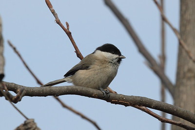 Marsh Tit / 쇠박새 hellmayri subspecies Poecile palustris hellmayri Hangang River, Paldang-ri, Namyangju-si, Gyeonggi-do, South Korea 21 December 2014