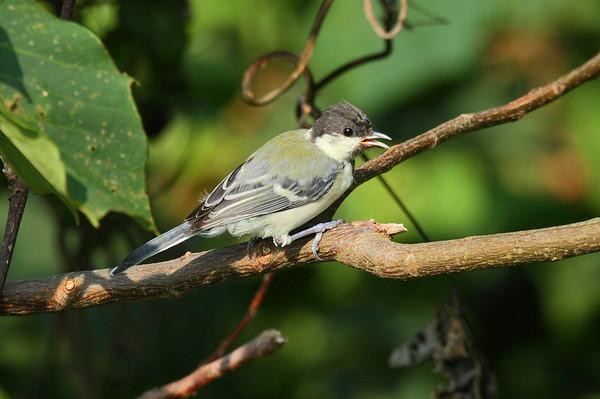 Japanese Tit (juvenile) / 박새 Nominate subspecies Parus minor minor Gageo-do, Jeollanam-do, South Korea 7 September 2014