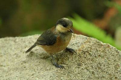 Varied Tit (juvenile) / 곤줄박이 Nominate subspecies Sittiparus varius varius Dongbu-myeon, Geoje-si, Gyeongsangnam-do, South Korea 7 June 2014