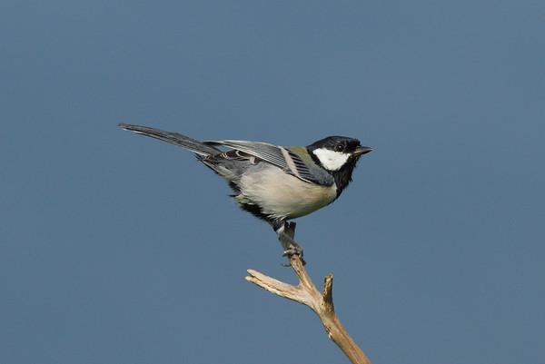 Japanese Tit / 박새 Nominate subspecies Parus minor minor Gageo-do, Jeollanam-do, South Korea 7 September 2014