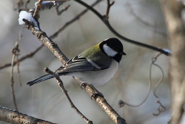 Japanese Tit / 박새 Nominate subspecies Parus minor minor Gakhwa Reservoir, Gakhwa-dong, Gwangju, South Korea 6 December 2014