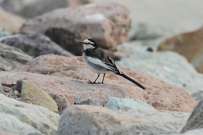 "White Wagtail / 알락할미새 ""Black-backed"" subspeciesMotacilla alba lugens Haenam-gun, Jeollanam-do, South Korea 23 November 2013"