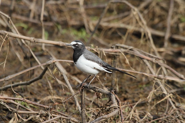 Japanese Wagtail / 검은등할미새 Motacilla grandis Gwangjuho Lake Ecology Park, Chunghyo-dong, Gwangju, South Korea 13 January 2015