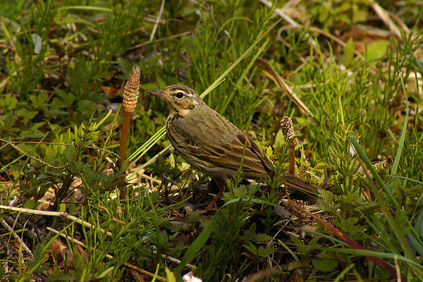 Olive-backed Pipit / 힝둥새 Anthus hodgsoni Dongcheongang River, Suncheon-si, Jeollanam-do, South Korea 13 April 2013