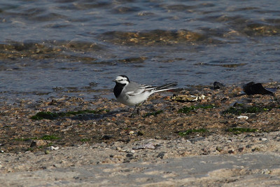 "White Wagtail / 알락할미새 ""East Asian"" subspecies Motacilla alba ocularis Eocheong-do, Jeollabuk-do, South Korea 3 May 2014"