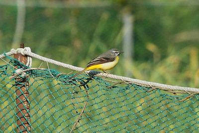 Grey Wagtail (male) / 노랑할미새 Nominate subspecies Motacilla cinerea cinerea Eocheong-do, Jeollabuk-do, South Korea 5 May 2014