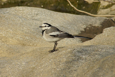 "White Wagtail / 알락할미새 ""Black-backed"" subspecies Motacilla alba lugens Gwangjugang River, Gwangju, South Korea 2 March 2013"