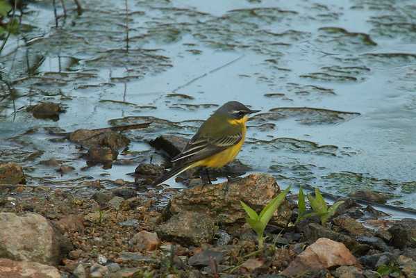 "Eastern Yellow Wagtail / 긴발톱할미새 ""Manchurian"" subspeciesMotacilla tschutschensis macronyx Eocheong-do, Jeollabuk-do, South Korea 5 May 2014"