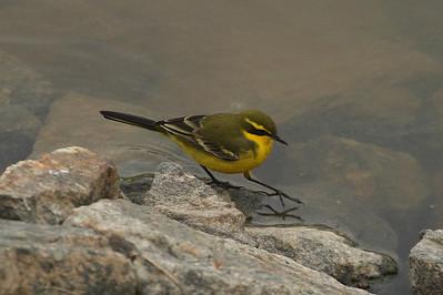 """Eastern Yellow Wagtail / 긴발톱할미새 """"Green-headed"""" subspeciesMotacilla tschutschensis taivana Eocheong-do, Jeollabuk-do, South Korea 4 May 2014"""