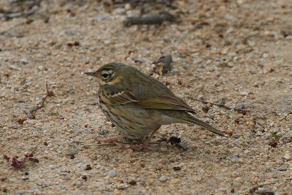Olive-backed Pipit / 힝둥새 Anthus hodgsoni Eocheong-do, Jeollabuk-do, South Korea 4 May 2014