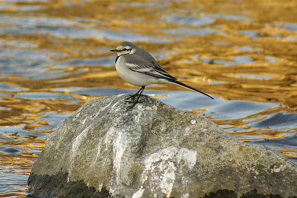 "White Wagtail (juvenile) / 알락할미새 ""Black-backed"" subspecies Motacilla alba lugens Gwangjugang River, Gwangju, South Korea 2 March 2013"