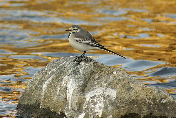 "White Wagtail (juvenile) / 알락할미새 ""Black-backed"" subspecies Motacilla alba lugens Gwangjugang River, Gwangju, South Korea 2 March 2013"