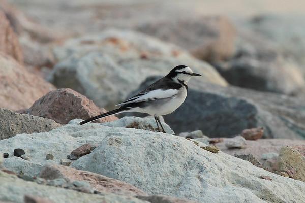 """White Wagtail / 알락할미새 """"Black-backed"""" subspeciesMotacilla alba lugens Haenam-gun, Jeollanam-do, South Korea 23 November 2013"""
