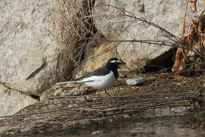 Japanese Wagtail / 검은등할미새 Motacilla grandis Hangang River, Paldang-ri, Namyangju-si, Gyeonggi-do, South Korea 21 December 2014