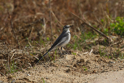 "White Wagtail (juvenile) / 알락할미새 ""Black-backed"" subspecies Motacilla alba lugens Yeongsangang River, Yudeok-dong, Gwangju, South Korea 27 October 2013"