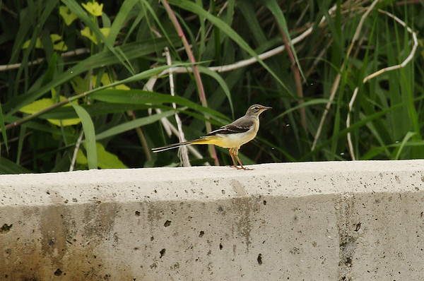 Grey Wagtail (female) / 노랑할미새 Nominate subspecies Motacilla cinerea cinerea Yeongsangang River, Damyang-gun, Jeollanam-do, South Korea 8 June 2013