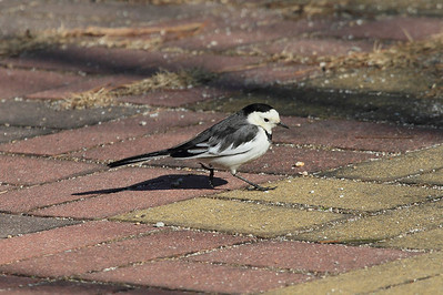 "White Wagtail / 알락할미새 ""Chinese"" subspecies Motacilla alba leucopsis Gwangjuho Lake Ecological Park, Chunghyo-dong, Gwangju, South Korea 4 February 2014"