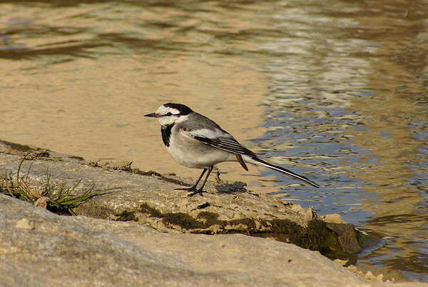 "White Wagtail / 알락할미새 ""Black-backed"" subspecies Motacilla alba lugens Gwangjugang River, Gwangju, South Korea 2 March 2013"