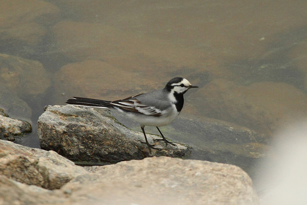 "White Wagtail / 알락할미새 ""East Asian"" subspecies Motacilla alba ocularis Eocheong-do, Jeollabuk-do, South Korea 4 May 2014"