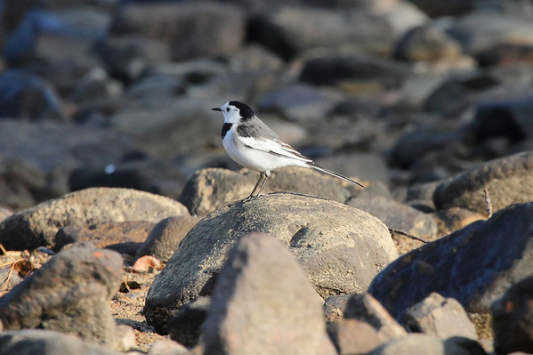"White Wagtail / 알락할미새 ""Chinese"" subspecies Motacilla alba leucopsis Gwangjuho Lake Ecological Park, Chunghyo-dong, Gwangju, South Korea 16 November 2013"