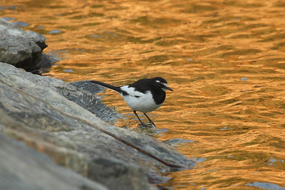Japanese Wagtail / 검은등할미새 Motacilla grandis Eocheong-do, Jeollabuk-do, South Korea 5 May 2014