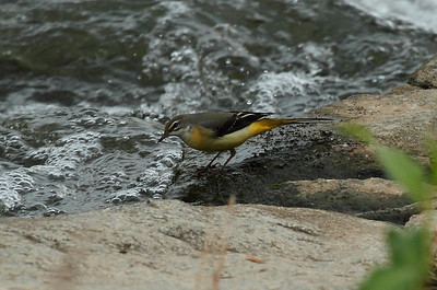 Grey Wagtail (female) / 노랑할미새 Nominate subspecies Motacilla cinerea cinerea Gwangjugang River, Gwangju, South Korea 3 August 2013