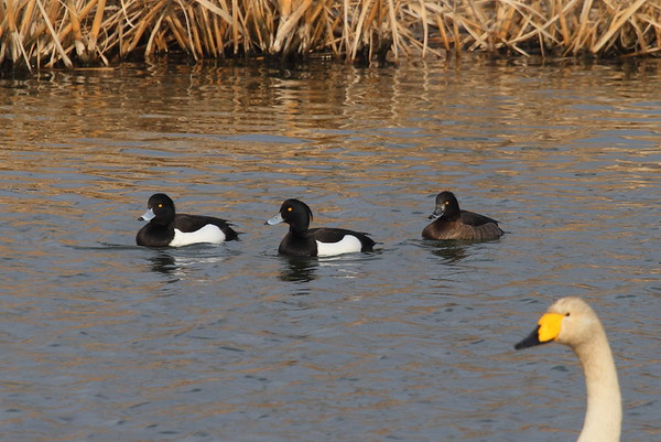 Tufted Duck (male & female) / 댕기흰죽지 Aythya fuligula Gangjin Bay, Gangjin-gun, Jeollanam-do, South Korea 7 February 2015