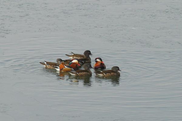 Mandarin Duck (male & female) / 원앙 Aix galericulata Hangang River, Paldang-ri, Namyangju-si, Gyeonggi-do, South Korea 21 December 2014