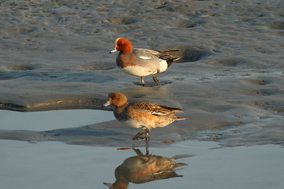 Eurasian Wigeon (male & female) / 홍머리오리 Anas penelope Nakdonggang River, Myeongji-dong, Busan, South Korea 31 January 2015