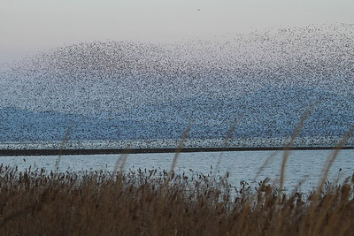 Baikal Teal / 가창오리 Anas formosa Geumhoho Lake, Deoksong-ri, Haenam-gun, Jeollanam-do, South Korea 7 December 2014