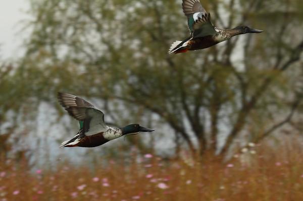 Northern Shoveler (male) / 넓적부리 Anas clypeata Samnak Riverside Park, Samnak-dong, Busan, South Korea 16 November 2014