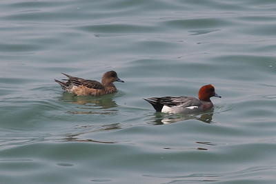 Eurasian Wigeon (male & female) / 홍머리오리 Anas penelope Nakdonggang River, Daedae-dong, Busan, South Korea 23 March 2014