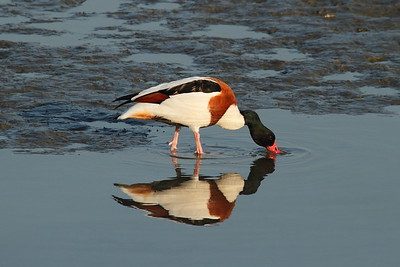 Common Shelduck / 혹부리오리 Tadorna tadorna Nakdonggang River Estuary, Myeongji-dong, Busan, South Korea 31 January 2015