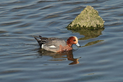 Eurasian Wigeon (male) / 홍머리오리 Anas penelope Nakdonggang River, Myeongji-dong, Busan, South Korea 31 January 2015