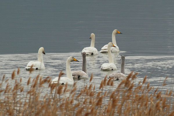 Whooper Swan / 큰고니 Cygnus cygnus Gangjin Bay, Gangjin-eup, Gangjin-gun, Jeollanam-do, South Korea 7 December 2014