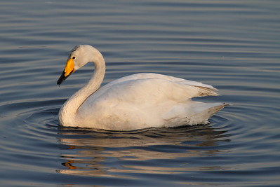 Whooper Swan/ 큰고니 Cygnus cygnus Nakdonggang River Estuary, Myeongji-dong, Busan, South Korea 31 January 2015