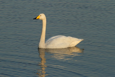Whooper Swan / 큰고니 Cygnus cygnus Nakdonggang River Estuary, Myeongji-dong, Busan, South Korea 31 January 2015