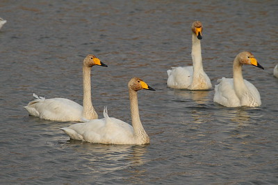 Whooper Swan/ 큰고니 Cygnus cygnus Gangjin Bay, Gangjin-gun, Jeollanam-do, South Korea 7 February 2015