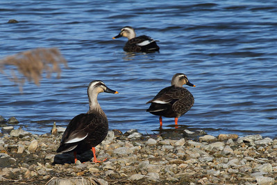 Eastern Spot-billed Duck / 흰빰검둥오리Anas zonorhyncha Yeongsangang River, Oryong-dong, Gwangju, South Korea 4 February 2014