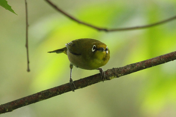 Warbling White-eye / 동박새 Nominate subspecies Zosterops japonicus japonicus Gakhwa Reservoir, Gakhwa-dong, Gwangju, South Korea 26 May 2013